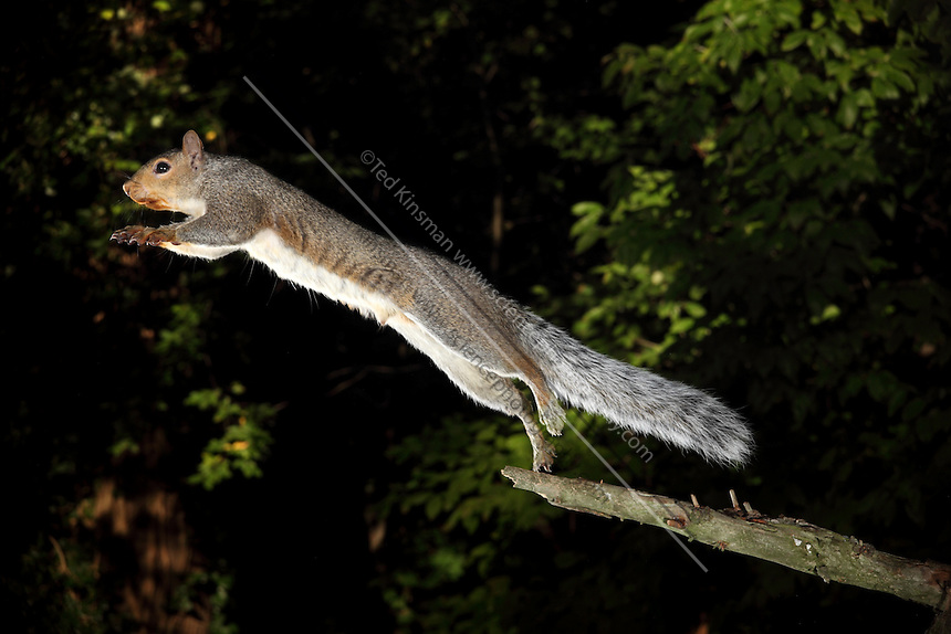 Gray Squirrel (Sciurus carolinensis). Jumping from a branch.  This high-speed image was captured with a flash at 1/20,000th of a second.  This is a female, and she has been feeding on black walnuts.  The nuts have stained the fur around her mouth.