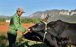 A Cuban  farmer and his oxen near Vinales, Cuba
