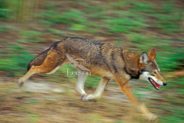 Red Wolf.Endangered species.  Southeastern U.S.A..Canis rufus.(Lowry Park Zoo, Tampa, Florida)