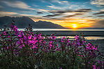 Purple Vetch (Vicia Americana) Blooms Along The Shores Of Kluane Lake With Sunset Happening In The Distance; Yukon, Canada