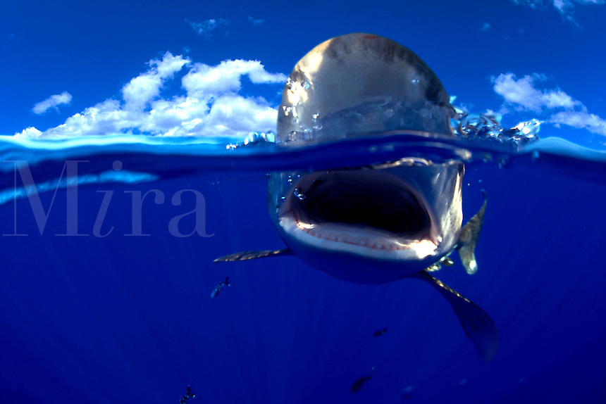 dangerous menacing deadly hazardous cartilaginous Hawaii deadly hazardous cartilaginous fish horizontal underwater This split image of an oceanic whitetip shark, Carcharhinus longimanus, was taken several miles off the Big Island in open ocean. digital composite