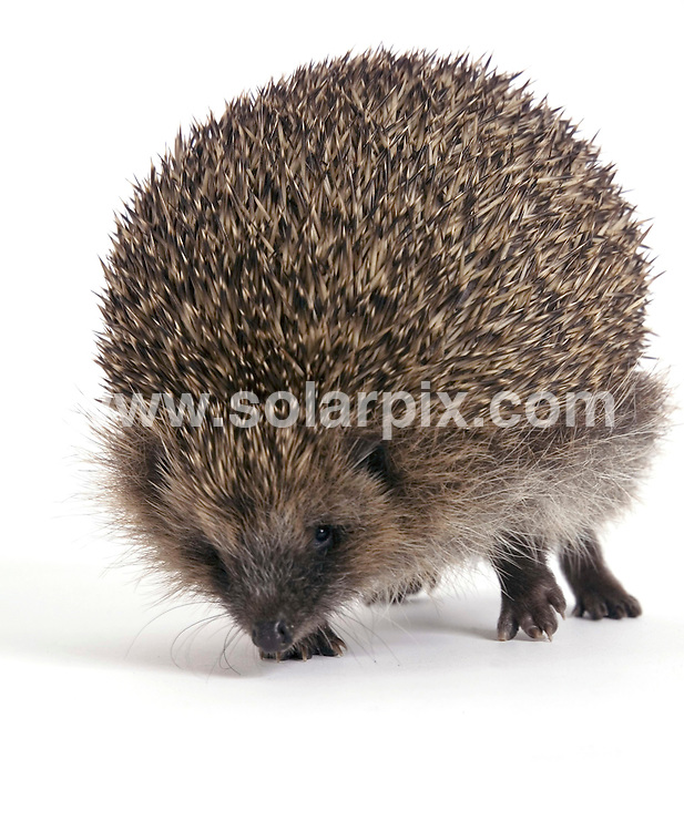 **ALL ROUND PICTURES FROM SOLARPIX.COM**.**NO UK NEWSPAPER PUBLICATION **UK MAGAZINE PUBLICATION ONLY** AND NO PUBLICATION IN FRANCE, SCANDINAVIA, AUSTRALIA AND GERMANY** .This is Bubbles a hedgehog that became inflated to about 3 times his normal size. He could hardly walk or feed  and had to be deflated  with a medical syringe. The cause of the condition, named 'Balloon Syndrome', is unknown but Bubbles is now doing well  at Tiggywinkles Wildlife Hospital in Buckinghamshire..This pic: Bubbles..JOB REF:   4301    SFE       DATE: 17_07_2007.**MUST CREDIT SOLARPIX.COM OR DOUBLE FEE WILL BE CHARGED* *UNDER NO CIRCUMSTANCES IS THIS IMAGE TO BE REPRODUCED FOR ANY ONLINE EDITION WITHOUT PRIOR PERMISSION*