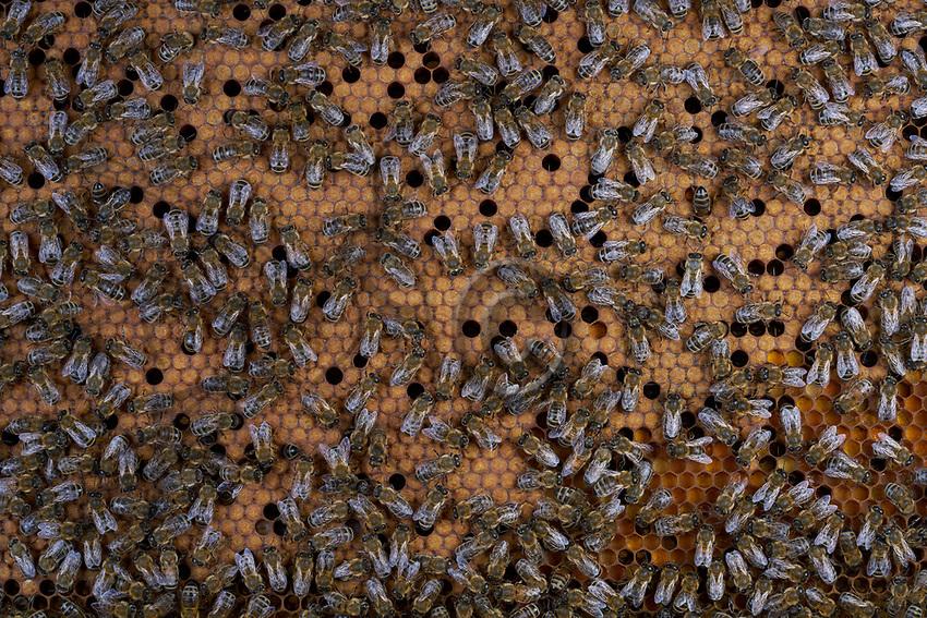 On the brood, the bees incubate the sealed cells that contain the pupae to maintain their temperature at 35&deg;. We can also see empty cells in the brood and others filled with bee bread (chunks of pollen) for raising the larvae.<br /> Sur le couvain, les cellules opercul&eacute;es qui contiennent les nymphes sont couv&eacute;es par les abeilles pour maintenir leur temp&eacute;rature &agrave; 35 &deg;. On remarque des cellules vides dans le couvain et aussi d&rsquo;autres remplis de pain de pollen pour l&rsquo;&eacute;levage des larves.