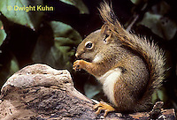 MA07-020b  Red Squirrel - sitting by tree cavity, eating - Tamiasciurus hudsonicus