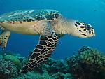 Blue Corner, Palau -- Sea turtle swimming away.