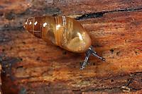 Gemeine Glattschnecke, Gemeine Achatschnecke, Cochlicopa lubrica, Cochlicopa repentina, Cionella lubrica, glossy pillar snail, slippery moss snail, Glattschnecken, Cochlicopidae