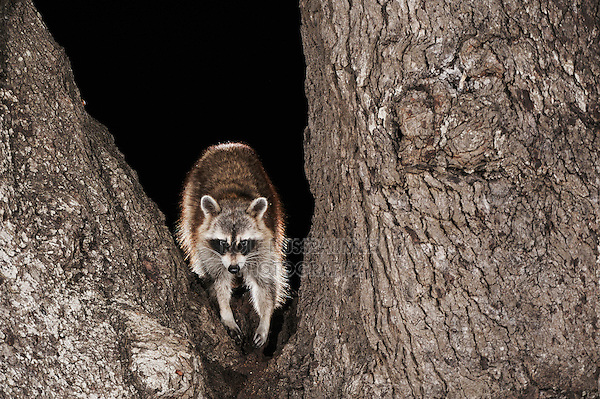 Northern Raccoon (Procyon lotor), adult in oak tree, Dinero, Lake Corpus Christi, South Texas, USA