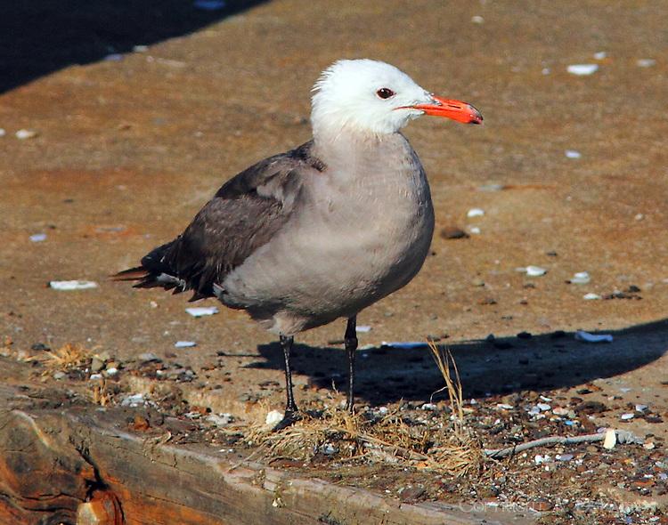 Adult Heermann's gull in breeding plumage