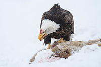 Adult Bald Eagle feeding on roadkilled Mule deer in winter snow. Okanogan County. Washington. January.