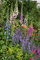 Mixed late spring / early summer  garden of Nepeta catmint, tall vertical perennial plants of Delphinium and Digitalis foxglove, Achillea, Alchemilla lady's mantle, Dianthus, Salvia, Aquilegia columbine, Anchusa blue flowers, for variety of texture, heights, shapes in flowering garden bed border combination in pink, purple, blue, yellow, red, green, orange mixture of colors