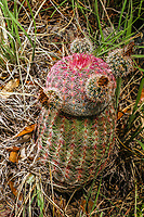 Rainbow Cactus Bisnaga Echinocereus rigidissimus, in the Los Locos mountain range in the municipality of San Felipe de Jesus, Sonora, Mexico. It belongs to the family Cactaceae.....<br /> (photo: Luis Gutierrez / nortephoto)...<br /> <br /> Cactus arcoíris. Bisnaga. Echinocereus rigidissimus, en la sierra Los Locos en el municipio de San Felipe de Jesus,  Sonora, Mexico. Pertenece a la familia Cactaceae.