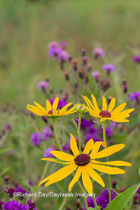 63899-05502 Sweet Black-eyed Susan (Rudbeckia subtomentosa) and Missouri Ironweed (Vernonia missurica) Marion Co., IL