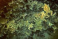 Grasfrosch, Gras-Frosch, Frosch, Überwinterung am Gewässergrund, Massenansammlung im Winter, Rana temporaria, European Common Frog, European Common Brown Frog