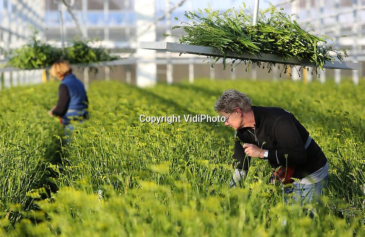 Foto: VidiPhoto..HUISSEN - Bij Zandvoort Flowers in het Gelderse Huissen worden dinsdag gele freesia's geoogst voor  Pasen. Het plukken gebeurt als de bloemen nog in de knop zitten. De Hollandse bloem is vooral in Engeland erg populair. Daarnaast is er vooral tijdens Oost-Europese Vrouwendag (8 maart) veel vraag naar gele freesia's. In Nederland wordt de bloem vooral verkocht tijdens Pasen en verwerkt in samengestelde boeketten..