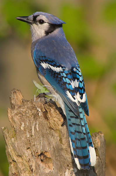 Blue Jay (Cyanocitta cristata) Great Lakes Region. Sping..
