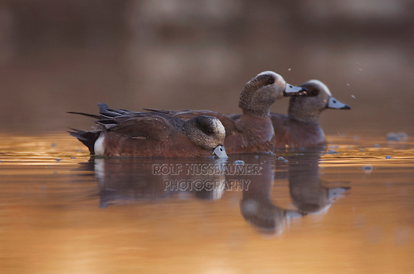 American Wigeon, Anas americana, adult males swimming, Hill Country, Texas, USA, April 2007