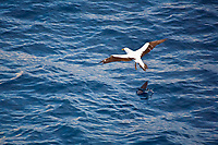 masked booby, Sula dactylatra, hunting flying fish, flying, Family: Exocoetidae, Atlantic Ocean