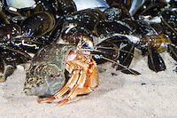 Gemeiner Einsiedlerkrebs, Einsiedler-Krebs, Pagurus bernhardus, Eupagurus bernhardus, in Schneckengehäuse, common hermit crab, hermit crab, Einsiedlerkrebse, hermit crabs