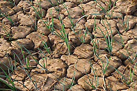 BURKINA FASO, Bokin, diocese of Kaya supports families with micro credit for cultivation of vegetables, dried onion field / BURKINA FASO, Bokin, Diozese Kaya unterstuetzt Menschen beim Gemueseanbau mit Kleinkrediten, trockenes Zwiebelfeld