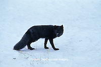 "01863-01018 Arctic Fox (Alopex lagopus) ""Blue Phase"" Churchill MB Canada"