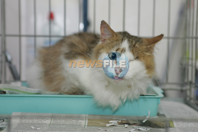 Spike the cat who was handed in to Drogheda Animal Rescue by the Laytown Police with a wooden Kebab skewer stuck through its face, Scholes Lane...Photo NEWSFILE/Jenny Matthews.(Photo credit should read Jenny Matthews/NEWSFILE)....This Picture has been sent you under the condtions enclosed by:.Newsfile Ltd..The Studio,.Millmount Abbey,.Drogheda,.Co Meath..Ireland..Tel: +353(0)41-9871240.Fax: +353(0)41-9871260.GSM: +353(0)86-2500958.email: pictures@newsfile.ie.www.newsfile.ie.FTP: 193.120.102.198.