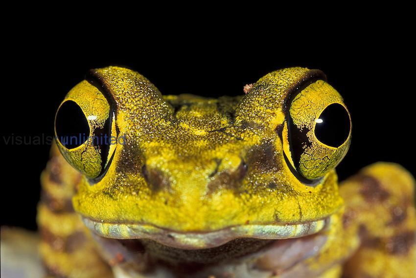 Long-legged Frog head (Amolops), Kinabalu National Park, Sabah, Borneo, Malaysia