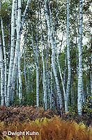 TT14-002c  Forest - white birch - Betula papyrifera