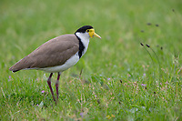 Masked Lapwing (Vanellus miles novaehollandiae), Black-shouldered subspecies foraging on Kangaroo Island, South Australia, Australia.