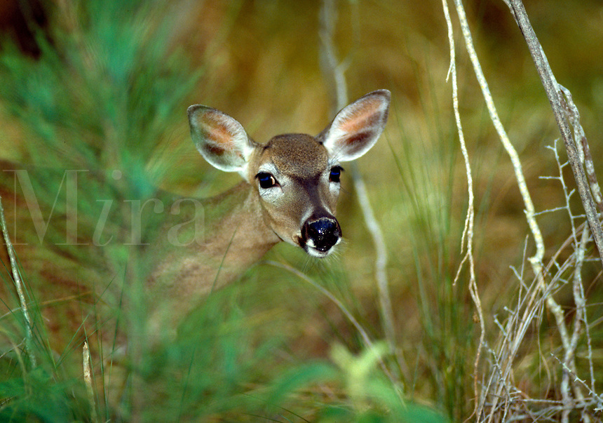 HAUNTINGLY BEAUTIFUL AND VULNERABLE KEY DEER PEERS AROUND PINE BRANCHES, ENDANGERED SPECIES, ECOLOGY, ENVIRONMENT. NO NAME KEY FL.