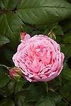 ROSA 'ORCHID ROMANCE', SHRUB ROSE