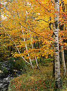 Birch forest in New Hampshire during the autumn months