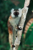 Black Lemur (Eulemur macaco), female in tree, Madagascar, Africa