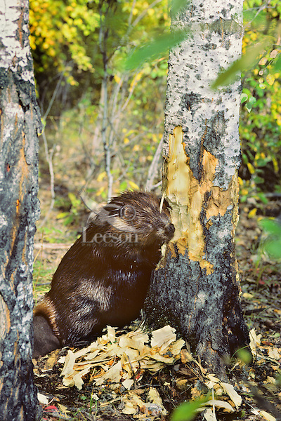American Beaver cutting aspen tree.