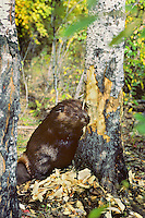American Beaver cutting aspen tree.