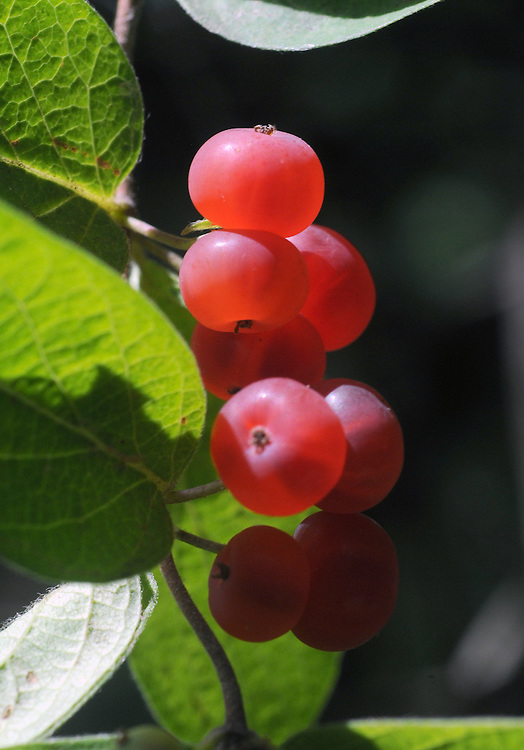 Berries seen in the Esopus Bend Nature Preserve in Saugerties, NY, on Monday, July 11, 2016. Photo by Jim Peppler. Copyright Jim Peppler 2016. x
