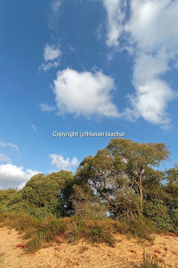 Israel, Coastal Plain. Euphrate Poplar trees (Populus Euphratica) in Nitzanim