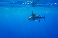 Indo-Pacific blue marlin, Makaira mazara (formerly Makaira nigricans), free swimming into bubble trail left by propellers of sportfishing boat, Vavau, Kingdom of Tonga, South Pacific Ocean
