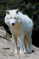 Arctic Wolf standing and staring