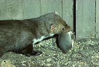 Steenmarter (Martes foina) met bruine rat als prooi