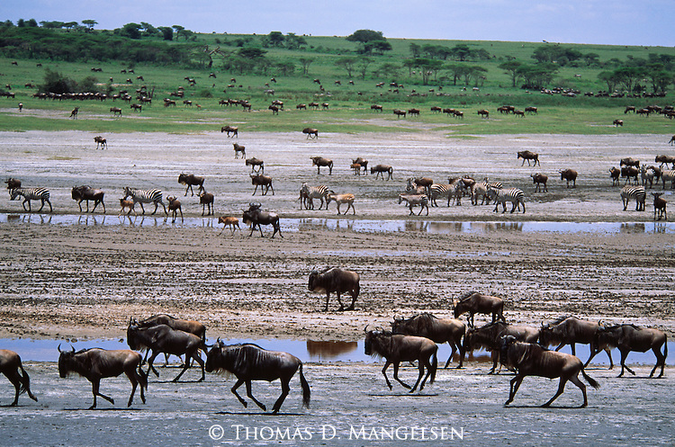 A running herd of Burchell's zebra and blue wildebeest in Arica