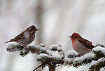 Pair of Cassin's Finches perched in a conifer during a snow storm.