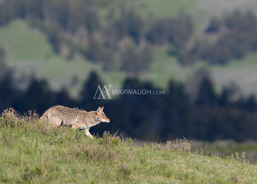 A coyote approaches its den site.