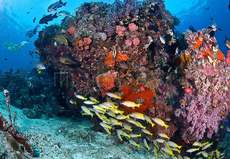 East Indonesia, Raja Ampat, fusiliers, snappers, angelfish found around coral bommie.