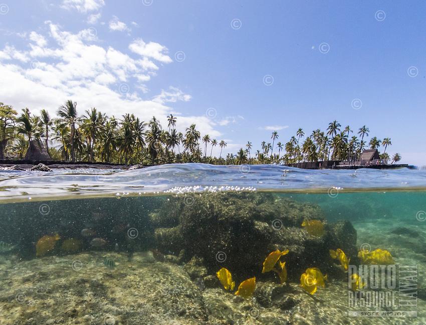 Yellow tang fish and Pu'uhonua o Honaunau, or City of Refuge, seen from Two Step dive and snorkeling area, Honaunau Bay, Hawai'i Island.