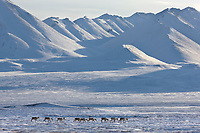 Caribou travel across the snow covered tundra in the Atigun Canyon, Endicott mountains of the Brooks Range, arctic, Alaska.