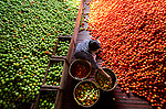 Workers sorting through thousands of tomato fruits