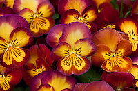 Pansy flowers, Viola x wittrockiana 'Ultima Radiance Red' bi-color