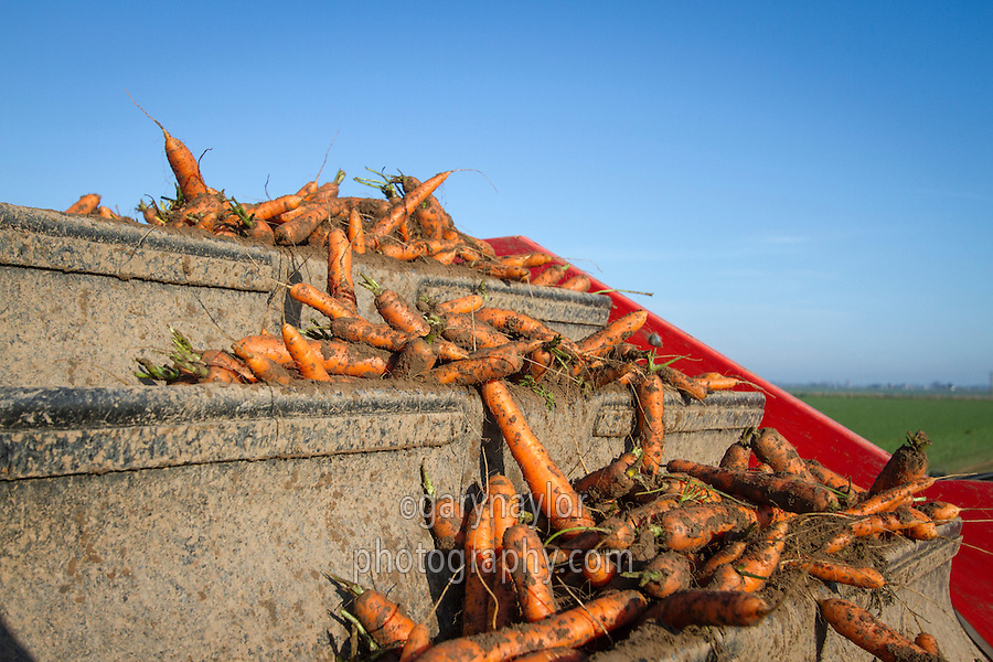 Top lifting carrots into boxes with Dewulf harvesters - November, South Lincolnshire