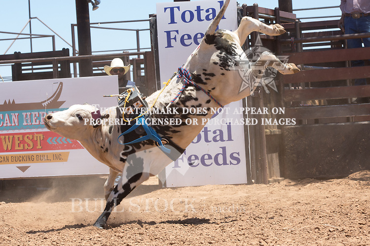 Amy's Boy from 444 Bucking Bulls / BS Cattle Co during the AHW Futurity at the 2017 ABBI American Heritage West, Los Lunas, NM. Photo Andre Silva