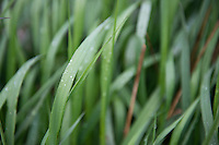 Morning dew coats leaves of spring grass in a field in near Bozeman, Montana.